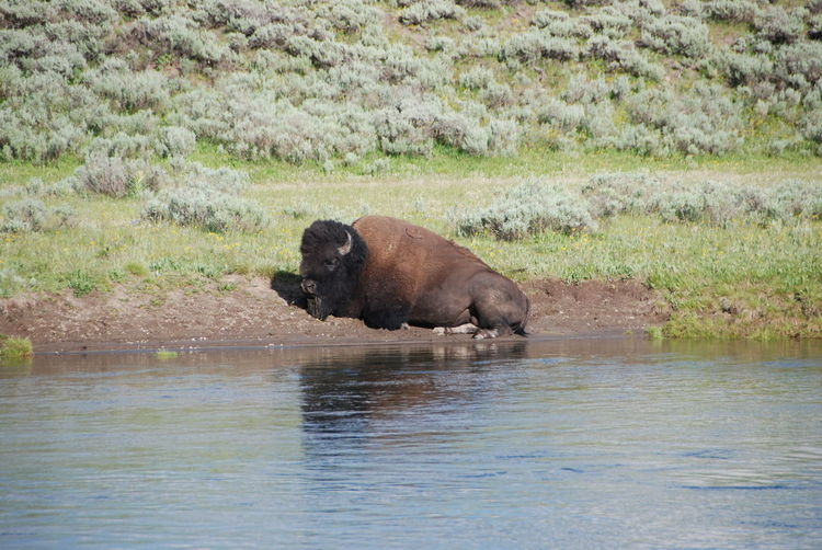 Animal Themes Animal Wildlife Animals In The Wild Beauty Bison Bison In Natural Environment Day Fresh On Eyeem  Lake Majestic Mammal Nature Nature No People One Animal Outdoor Photography Outdoors Powerful Resting On Banks Single Bison Water Yellowstone National Park