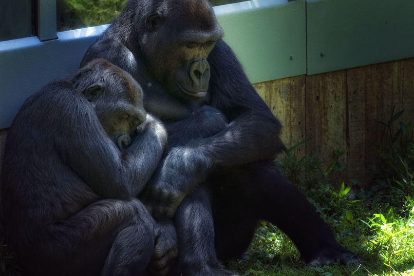 Gorilla's taking a nap at the DC zoo. Gorillas Zoo