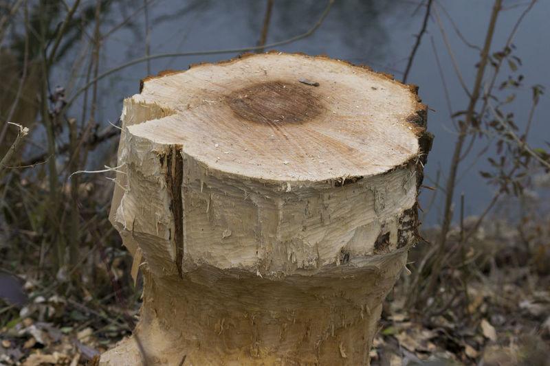 Gnawed Tree Bark Beaver Beaver Work Closeup Corroded Gnawed Stump Tree Tree Bark Tree Stump Tree Trunk Trees Trunk Wood Wood - Material Wooden