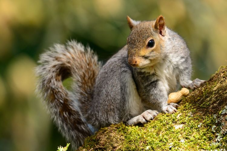 Animal Themes Animal Wildlife Animals In The Wild Beauty In Nature Bokeh Branch Close-up Cute Day Eye4photography  EyeEm Best Shots EyeEm Nature Lover Full Length Grey Squirrel Nature Nature_collection No People Nut One Animal Outdoors Rodent Squirrel Tail Tree Wildlife