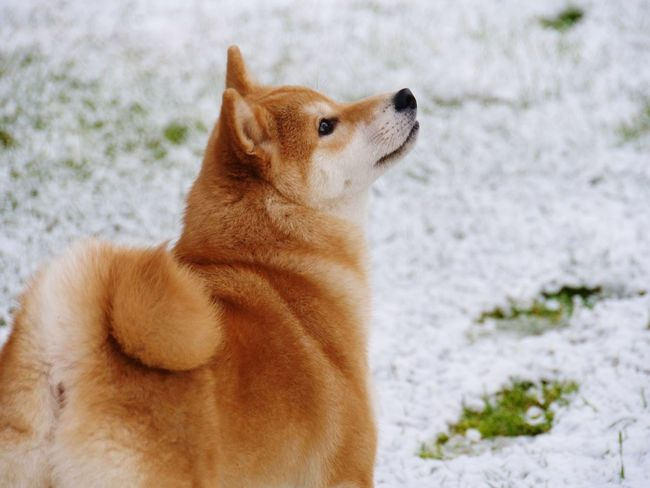 A little SNOW fell this morning ... Shiba Inu YUMImaus Stroll In The Garden Animal Themes One Animal Mammal Snow Winter Cold Temperature Domestic Animals Outdoors