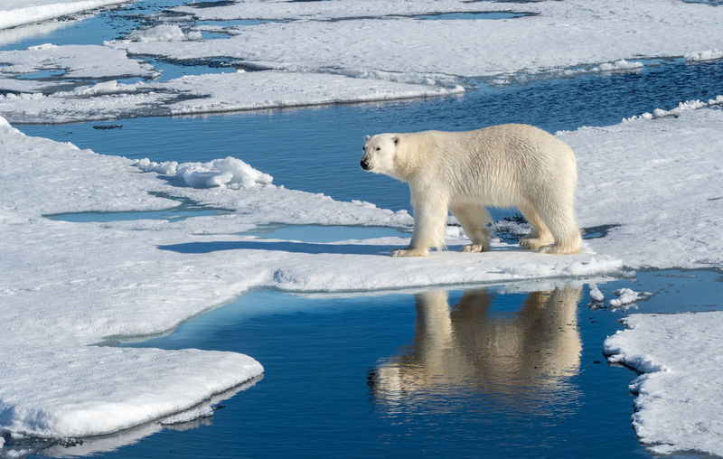 Polar Bear walking on ice with reflection in water Snow Cold Temperature Animal Animal Themes Animals In The Wild Mammal Bear Animal Wildlife Polar Bear Ice One Animal No People Water Outdoors Nature Reflection Arctic Svalbard