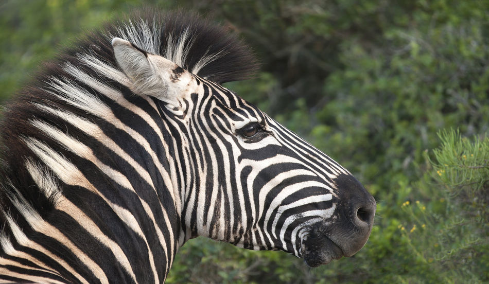 Animal Markings Animal Themes Animal Wildlife Animals In The Wild Close-up Day EyeEmNewHere Grass Mammal Nature No People One Animal Outdoors Portrait In The Wild Side View Striped Zebra