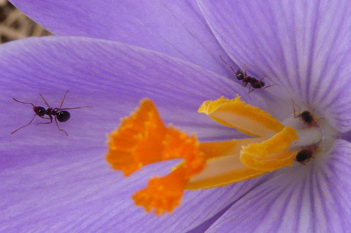 Ants in my crocus Animals In The Wild Ant Ants Arthropod Beauty In Nature Close-up Crocus Crocus Flower Flower Flower Head Insect Macroflower Macroflowerphotography Macroinsect Macroinsectphotography Nature Petal Pollen Pollination Selective Focus Wildlife