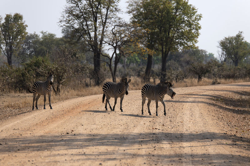 View of zebras walking on landscape