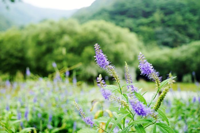 Flower Nature Purple Beauty In Nature Field Plant Landscape Wildflower Closing Flower Head No People Outdoors Close-up Korea Day Sony A7m2 Beauty In Nature EyeEm Gallery Hsun EyeEmNewHere Background Photography