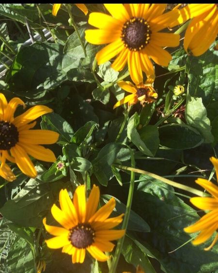 Flower Fragility Freshness Flower Head Petal Beauty In Nature Growth Plant Nature Blooming Yellow No People Outdoors Leaf Close-up Day Black-eyed Susan Photography Detail Sky