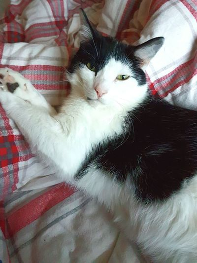 Domestic Cat Pets Mammal Domestic Animals Animal Themes Feline One Animal Relaxation Cat High Angle View Indoors  No People Portrait Day Bed Black And White Cat Davey Cat Face Feline Friend Sleepy Kitty Sleepy Cat Rescue Cat Rescue Kitty Cat On The Bed Chilling Out