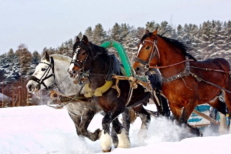 Horse Winter Cold Temperature Snow Domestic Animals Mammal Working Animal Horsedrawn Animal Themes Outdoors Competition Sky People Day Adult Nature