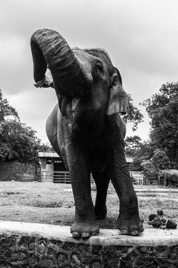 Gimme some food! Animal Animal Trunk Blackandwhite Conservation Elephant Endangered Animals Endangered Species Rare Sumatran Sumatran Elephant Zoology