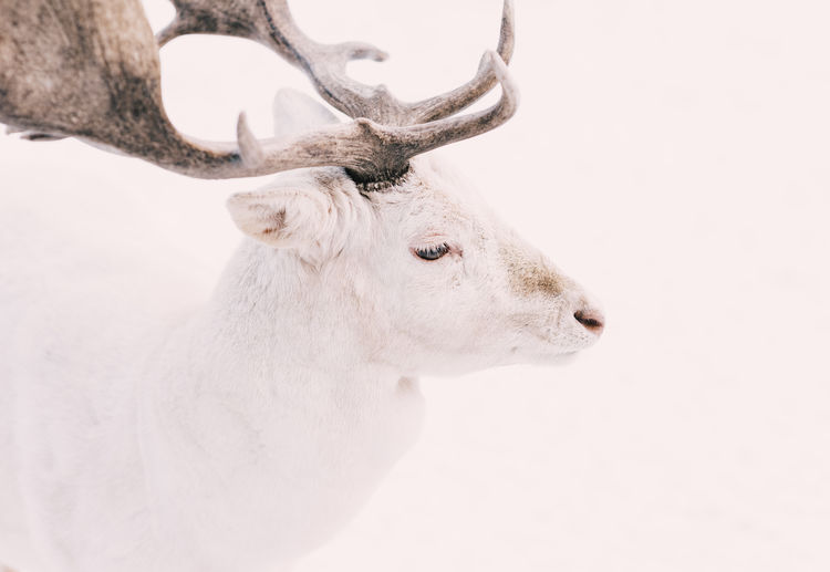 a young elegant white deer in the Snow Animal Head  Animal Photography Animal Themes Animal Wildlife Animals In The Wild Antler Beautiful Close-up Day Deer Ear Eyes Horned Majestic Mammal Nature No People One Animal Outdoors Snow Waiting White White Color Wintertime The Great Outdoors - 2017 EyeEm Awards
