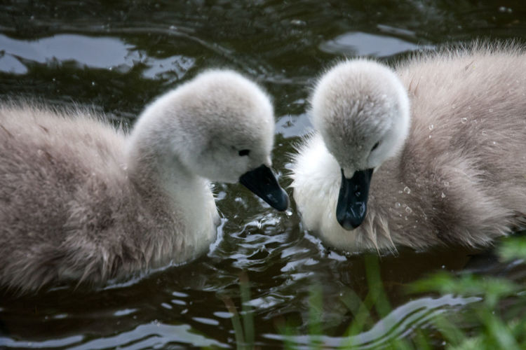 Swans Cute Cignets Animals