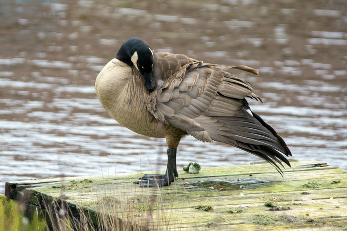 Canadian Goose Preening on a dock Animal Photography Animal Themes Animal Wildlife Animals In The Wild Animals In The Wild Bird Bird Photography Bird Watching Birds Of EyeEm  Birds_collection Birdwatching Canadian Goose Close-up Day Dock Grass Lake Nature No People One Animal Outdoors Pattern Perching Preening Birds Water