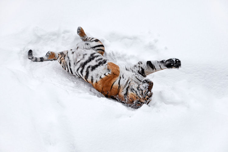 Tiger lying on snow covered field