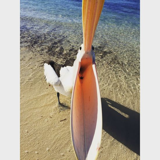 Pelican trying to take my head off yesterday 😝 Check This Out Taking Photos Enjoying Life Adventure Hanging Out Lifes A Beach OpenEdit Nature Rottnest Island