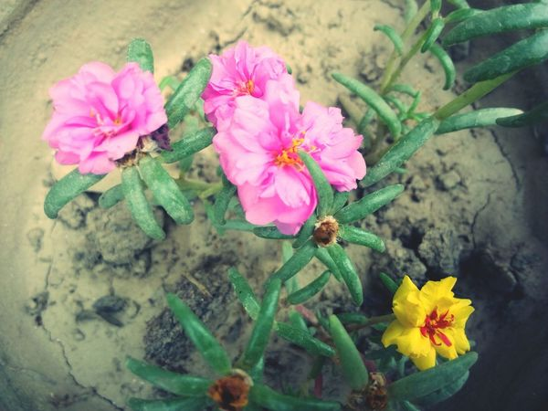 Flower Nature Fragility No People High Angle View Beauty In Nature Pink Color Day Close-up Freshness Growth Plant Flower Head Outdoors Petal EyeEmDiversity Yellow Flower Photography FlowerLove 🌸 The Great Outdoors - 2017 EyeEm Awards