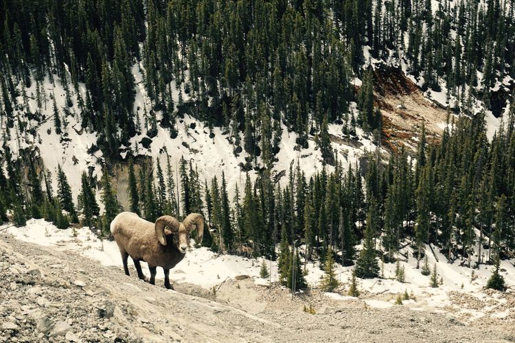 Big horn sheep on snow covered landscape