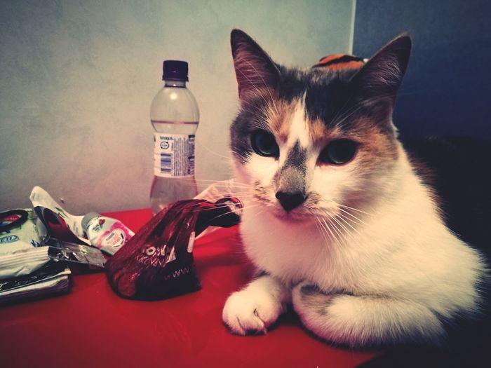 Cat Animal Sitting Fisa