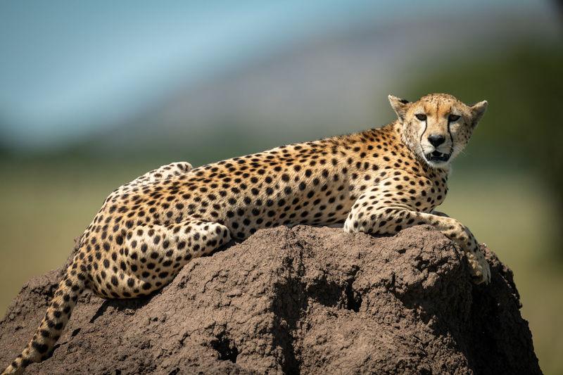Portrait of cheetah sitting on rock