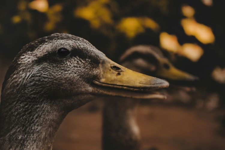 One Animal Side View Bird Beak Focus On Foreground Profile Zoology Outdoors Profile View No People EyeEm Nature Lover Nature_collection Nature Wilderness Love EyeEm Eye4photography  Close-up Ducks Beauty In Nature Exploring New EyeEm Gallery Beautiful EyeEm Best Shots The Great Outdoors - 2017 EyeEm Awards