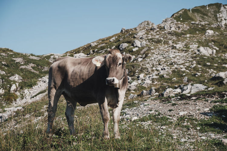 Alps, Germany Alps Animal Animal Themes Cattle Clear Sky Cow Cows Day Domestic Domestic Animals Herbivorous Land Livestock Mammal Mountain Mountains Nature No People One Animal Outdoors Pets Plant Sky Standing Vertebrate