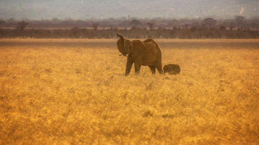 Elephant with infant on field