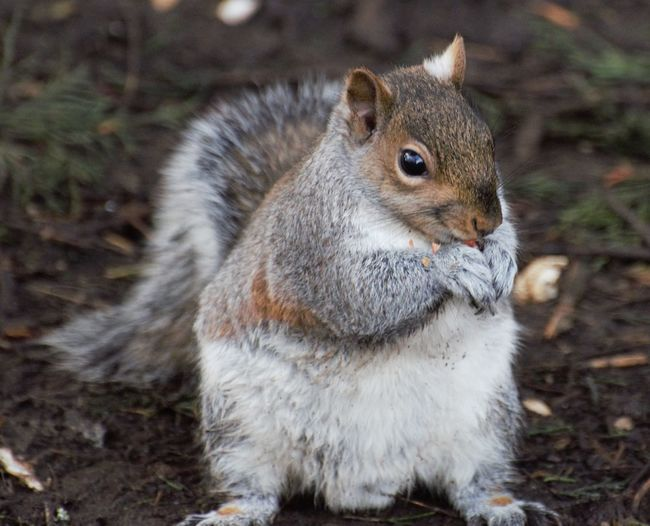 Close-up of squirrel eating on field