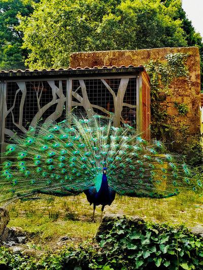 Peacock on flower plants