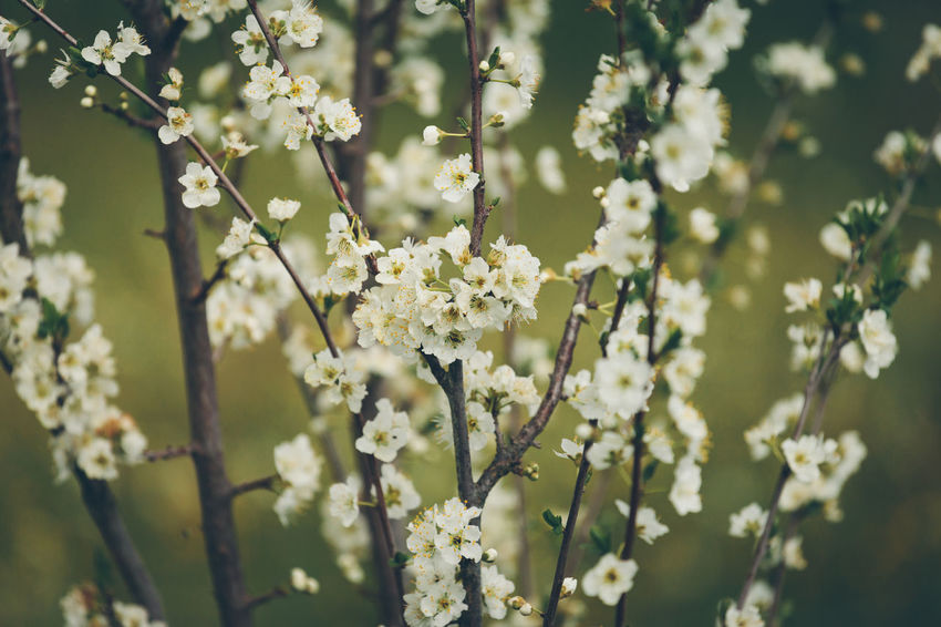 Flower Flowering Plant Plant Fragility Freshness Growth Vulnerability  Beauty In Nature White Color Nature Blossom Close-up Tree Selective Focus Springtime Day No People Branch Focus On Foreground Outdoors Flower Head Spring Cherry Blossom