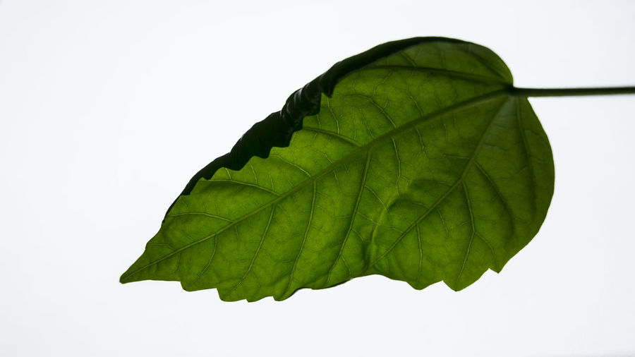 Plant Part Leaf Close-up Green Color Studio Shot White Background Plant Nature No People Copy Space Indoors  Leaf Vein Beauty In Nature Freshness Natural Pattern Focus On Foreground Fragility Vulnerability  Cut Out Leaves
