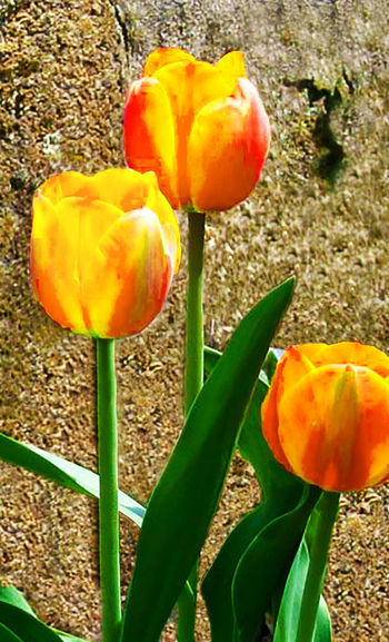 Beauty In Nature Close-up Day Field Flower Freshness Growth Nature No People Outdoors Yellow Tulip Close Up Yellow Tulips