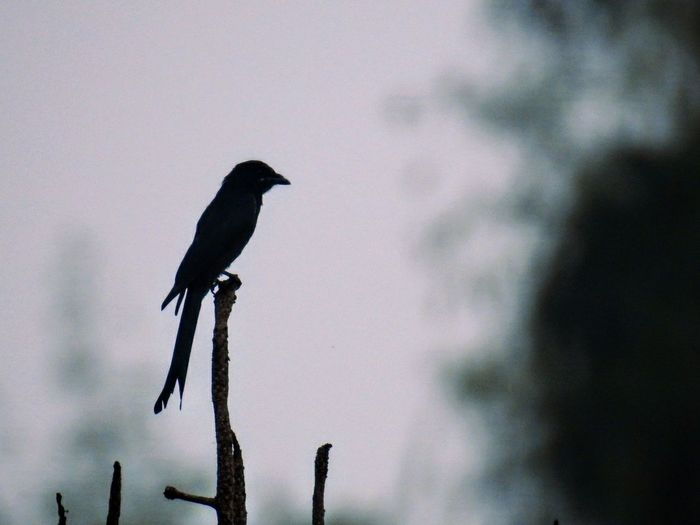 A bird perched on branches at a tech park campus in Bangalore Bird Animal Wildlife Animals In The Wild Perching Outdoors No People Day Nature Sky Close-up Silhouette