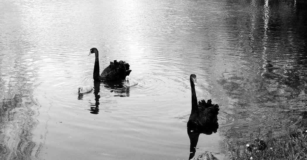 Black & White Schwarzweiß Swans Animal Family Animals In The Wild Animal Photography Black Swans