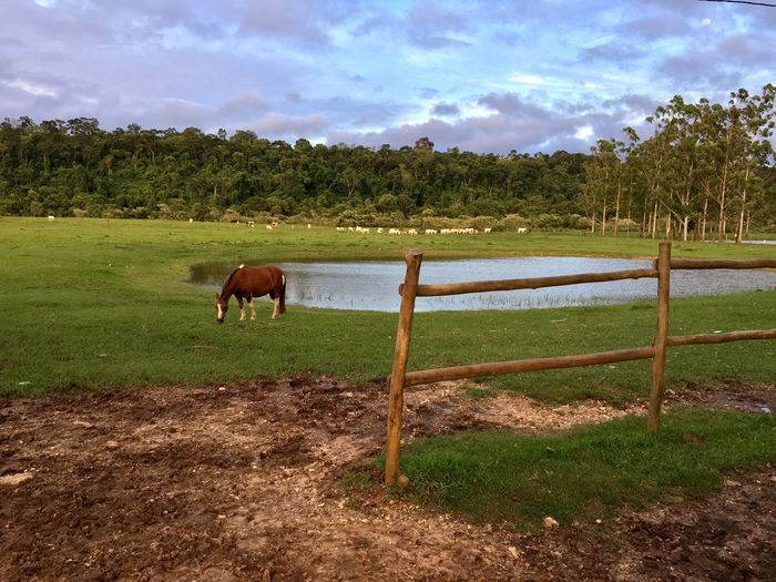 Field Animal Themes Tree Mammal Sky Domestic Animals Grass Horse Landscape Nature Cloud - Sky No People Tranquility One Animal Livestock Day Outdoors Grazing Tranquil Scene Beauty In Nature