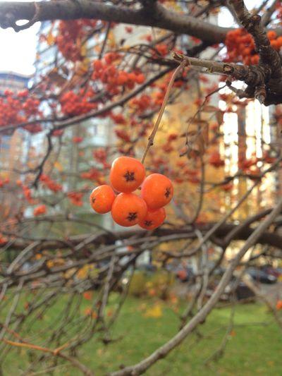 Focuse Object Beauty In Nature Berries Autumn No People Streetphotography Kiev Ukraine Rowanberry