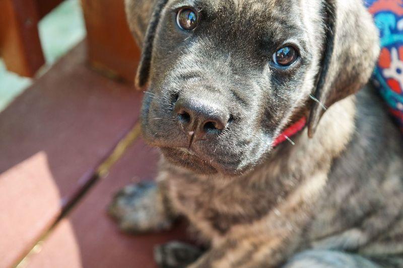 High angle portrait of english mastiff puppy