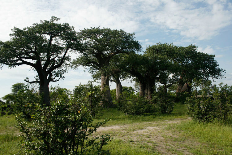Old Forest African Bush Forest African Forest Baobab Baobab Forest Baobab Tree Beauty In Nature Bush Bushveld Day Green Color Growing Idyllic Landscape Lush Foliage Nature Nature Nature Photography Nature_collection No People Outdoor Photography Outdoors Safari Tranquil Scene Tranquility Tree