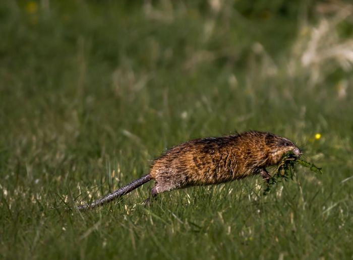 Quick shot of muskrat on field