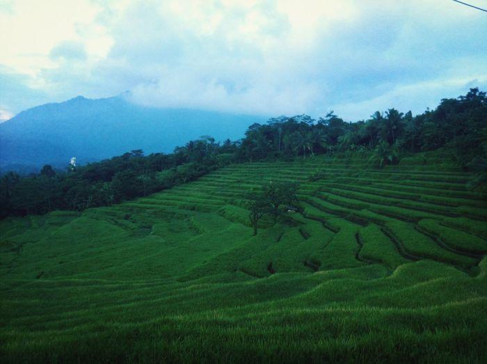 Rice Field Traveling INDONESIA Roadtopandeglang