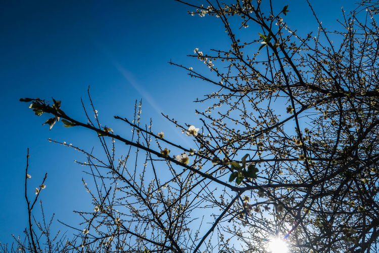 Beauty In Nature Blossom Blue Branch Close-up Daily Project Day Flower Low Angle View Nature No PeoplePlum Blossom Outdoors Plum Sky Sunlight Tree Winter The View And The Spirit Of Taiwan 台灣景 台灣情 EyeEmNewHere Blue Sky EyeEm Gallery Leaves Taiwan Plum