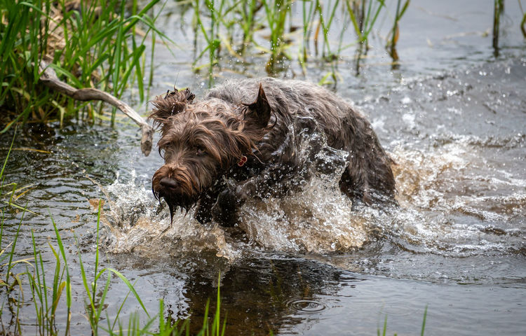 Wirehaired Pointing Griffon running through the river at top speed. Creek Plants Running Soaked Animal Animal Themes Brown Canine Chasing Day Dog Griffon Hurry Lake Mammal Motion Nature No People Pets River Splashing Sporting Dog Water Weeds Wet