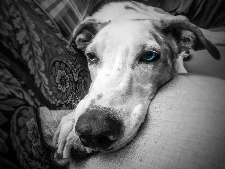 Pet Portraits Pets Dog Domestic Animals Animal Themes on the sofa Pet Photography  Pet Love My Dog Blue Eyes Eterocromia Expression Sofa Living Room Relaxation