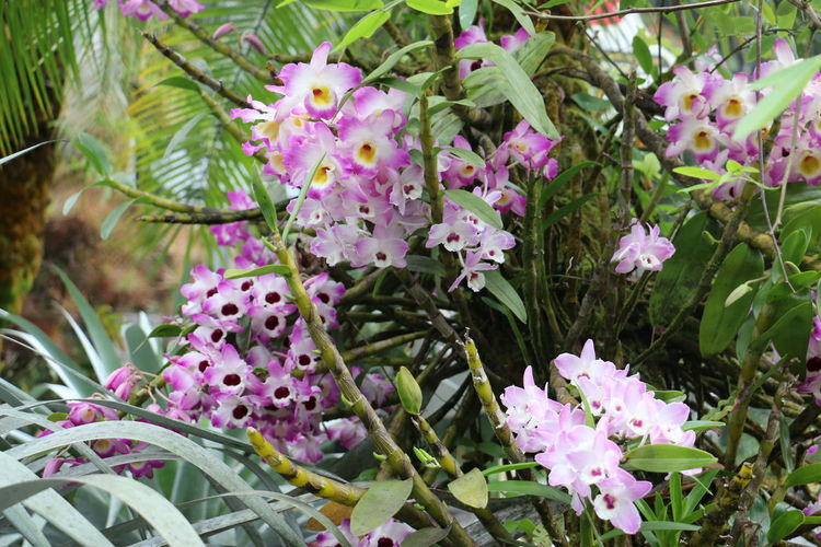 Orchid Hawaii