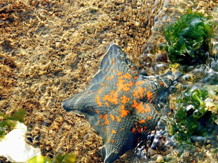 Close-up Shore Starfish  Habitat Seacreatures Underwater Clear Water Creatures Sea Life Sand & Sea Seaweed Seaweed At The Beach EyeEm Nature Lover