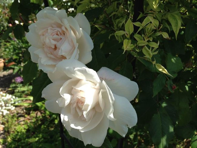 Climbing rose Growing Our Own