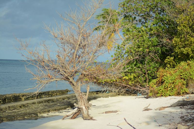 📷📷📷📸📸😀😁😀😀🌲🌲🌳🌳🌴 Tree Sea Nature Beach Outdoors Sand Branch No People Taking Photos Take Photos Takingphotos My Maldives Maldives On The Beach Side Sunny Side Of Life Palm Tree Tree Water
