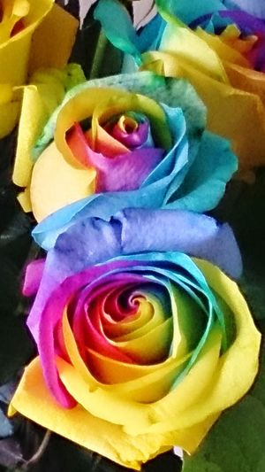 Flower Multi Colored Rose - Flower Petal Full Frame Close-up Backgrounds Beauty In Nature Rainbow Roses
