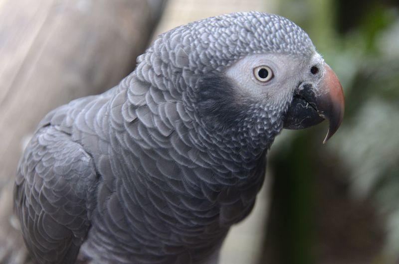 birds of Eden#2 Bird Animal Wildlife Gray Close-up Eye Feather  Animal Head  Beak Looking At Camera Portrait Parrot No People