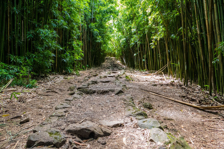 Footpath amidst bamboos on field