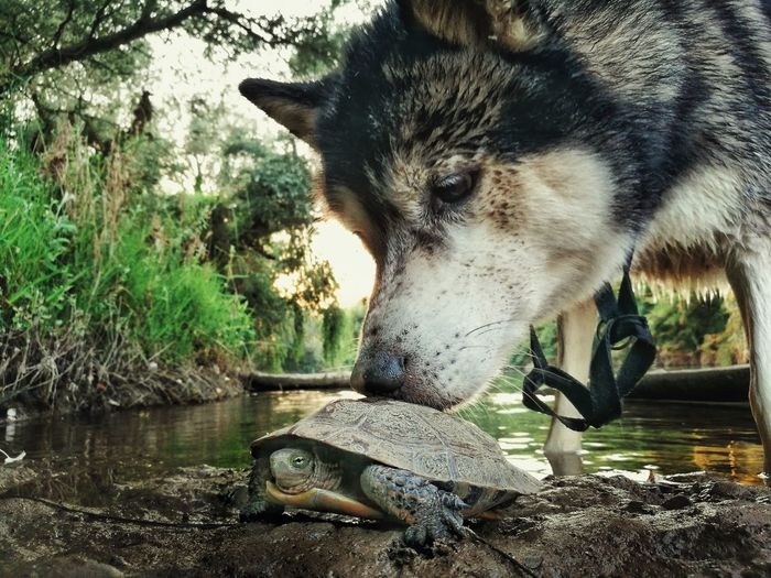 Close-Up Of Wolf Smelling Tortoise By Lake In Forest